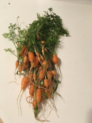 Tiny carrots :(